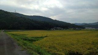 エコ米の稲刈り